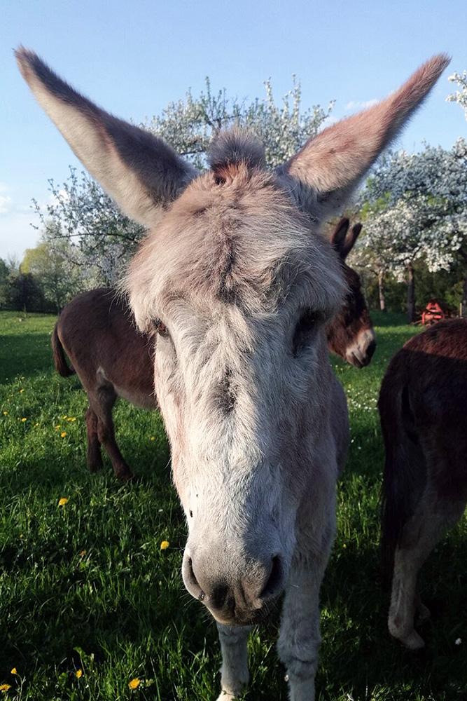 Esel auf dem Schwillehof in Pfullingen