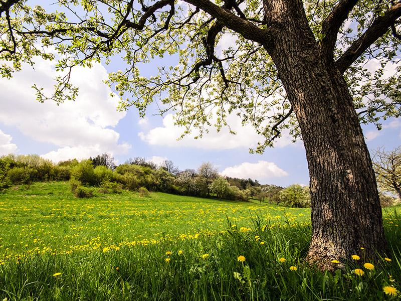 LANDSCHAFT ENTDECKEN AUF DEM SCHWILLEHOF Auszeit im Frühling: Löwenzahnwiese mit Kirschbaum
